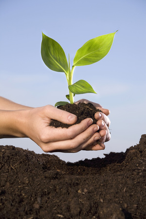 Person Planting Banana Plant In Soil,Close-Up