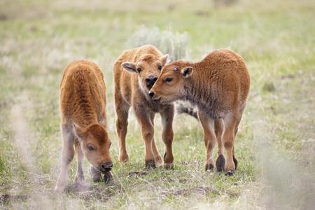 Usa,Yellowstone Park,American Bisons (Bison Bison),Three Calves