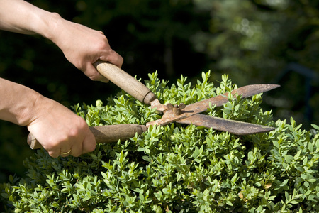 Germany, Baden-Wã¼Rttemberg, Stuttgart, Person Trimming Boxwood With Hedge Clippers LANG_EVOIMAGES