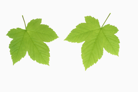 Sycamore Maple Leaves  (Acer Pseudoplatanus),Elevated View