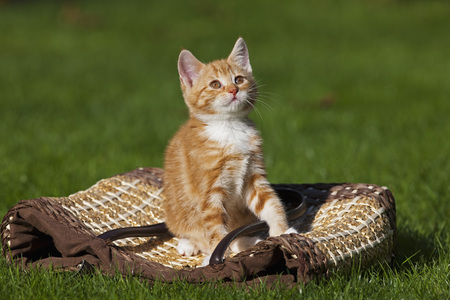 Germany,Bavaria,Ginger Kitten Sitting On Shopping Bag,Portrait LANG_EVOIMAGES