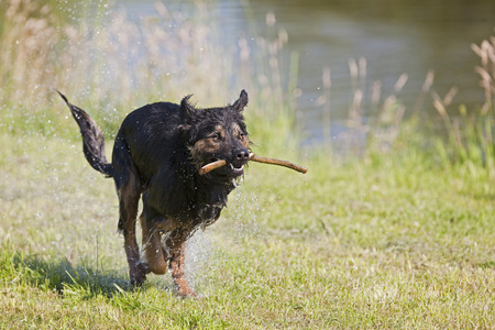Germany,Bavaria,Dog Carrying Stick In Mouth