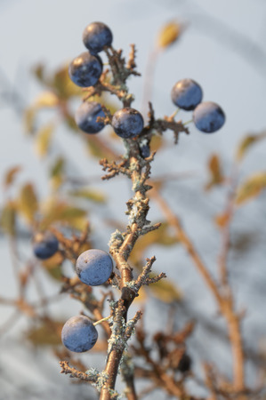 Germany,Nennslingen,Close Up Of Sloes On Limb