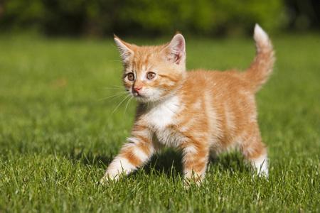 Germany,Bavaria,Ginger Kitten Outdoors