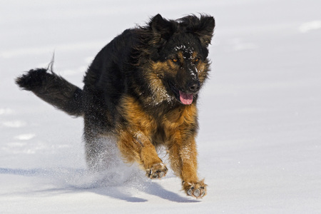 Germany,Bavaria,Hovawart Mix Dog Running In Snow