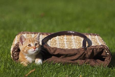 Germany,Bavaria,Ginger Kitten Lying In Shopping Bag