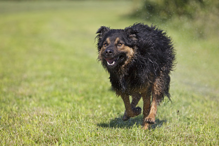 Germany,Bavaria,Hovawart Mix,Dog Running With Mouth Open