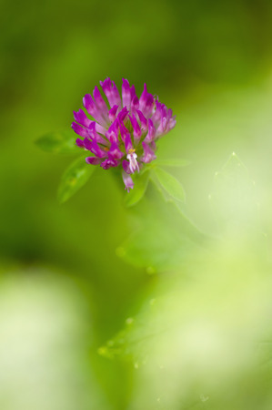 Germany,Red Clover (Trifolium Pratense)