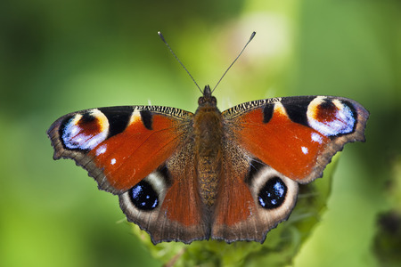 Germany,Bavaria,Peacock Butterfly (Inachis Io) On Leaf,Close-Up