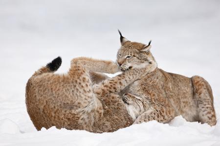 the lynx: Germany,Bavaria,European Lynx Fighting In Snow
