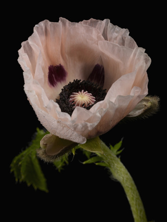 Close Up Of Papaver Somniferum Against Black Background