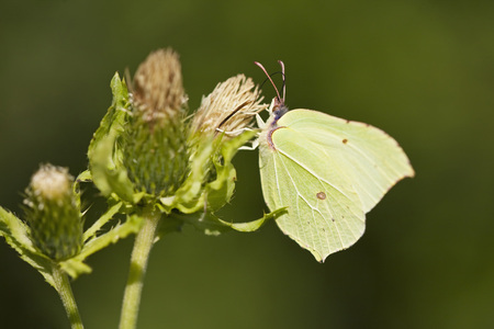 Germany,Bavaria,Brimstone Butterfly (Gonepteryx Rhamni),Close-Up LANG_EVOIMAGES