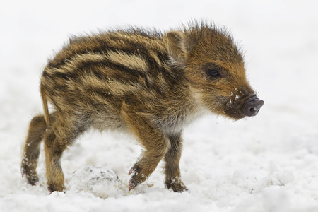 Germany,Bavaria Wild Boar Baby Walking In Snow LANG_EVOIMAGES
