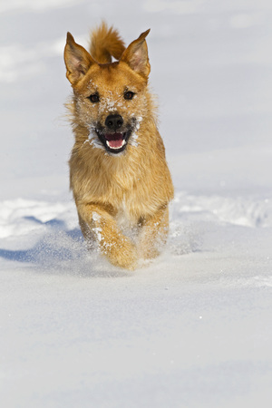 Germany,Bavaria,Parson Jack Russel Dog Running In Snow