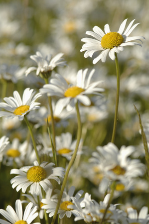 Germany,Marguerite Flowers (Chrysanthemum Leucanthemum),Close-Up
