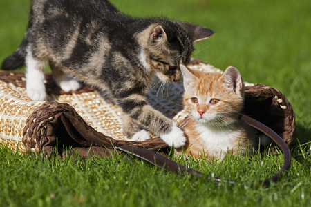 Germany,Bavaria,Kitten Playing Together