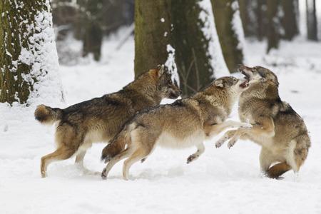 Bavaria,European Wolfs Fighting Oin Snow