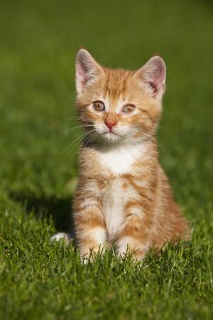 Germany,Bavaria,Ginger Kitten Sitting In Grass,Portrait