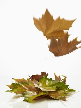 Close Up Of Autumn Leaf On White Background