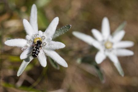 Austria,Syrphid Fly (Scaeva Pyrasti) On Edelweiss Flower (Leontopodium Alpinum)