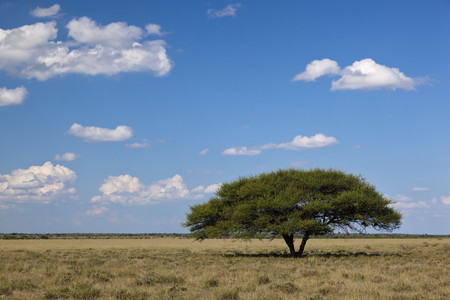 Africa,Botswana,View Of Central Kalahari Game Reserve With A Umbrella Acacia LANG_EVOIMAGES