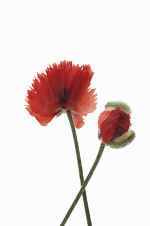 Close Up Of Oriental Poppy Flower Against White Background