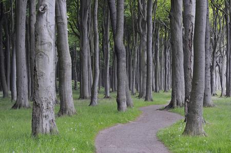 Mecklenburg-Western Pomerania,Pathway Through Beech Tree Forest