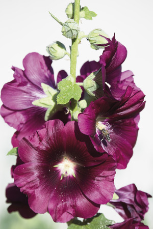 Bee Collecting Pollen From Hollyhock Flower,Close Up