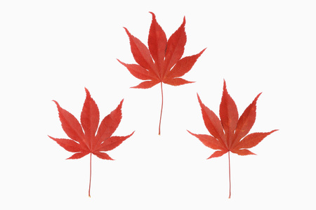 Close-Up Of Japanese Maple Leaf