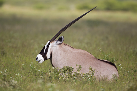 Africa,Botswana,Gemsbok Sitting In Central Kalahari Game Reserve LANG_EVOIMAGES