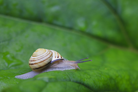 Europe,Croatia,Jezera,Grove Snail Crawling On Leaf,Close Up