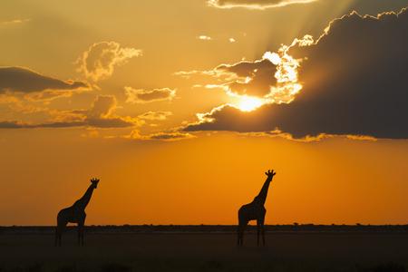 Africa,Botswana,Giraffes In Central Kalahari Game Reserve At Sunset