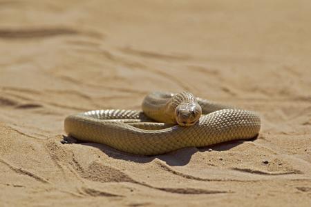 Africa,Botswana,South Africa,Kalahari,Cape Cobra In Kgalagadi Transfrontier Park