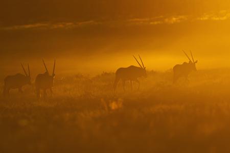 Africa,Botswana,Mabuasehube,Group Of Gemsbuck In Kgalagadi Transfrontier Park At Sunset