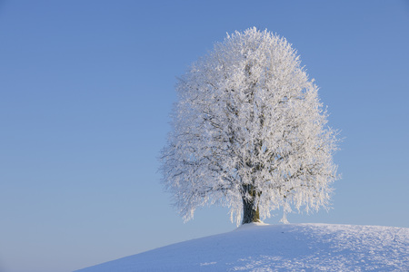 Europe,Switzerland,Canton Of Zug,View Of Lime Tree On Snowy Landscape LANG_EVOIMAGES