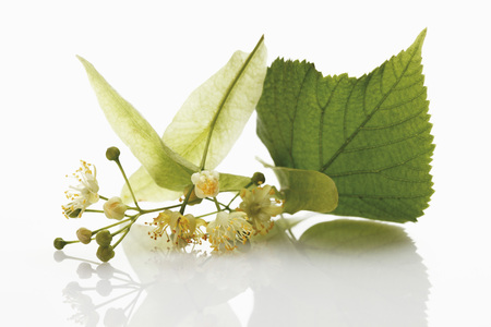 Lime Leaves And Blossoms On White Background