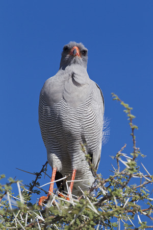 Africa,Namibia,Pale Chanting Goshawk In Etosha National Park