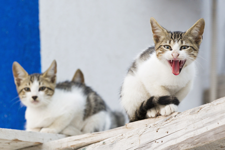 Europe,Greece,Cyclades,Thira,Santorini,Oia,Kittens In The Street LANG_EVOIMAGES