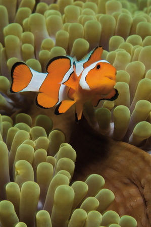 Indonesia,Komodo,Clownfish Swimming In Coral Underwater LANG_EVOIMAGES