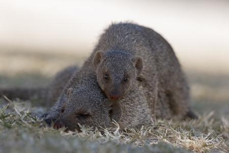 Africa,Namibia,Common Dwarf Mongoose In Etosha National Park