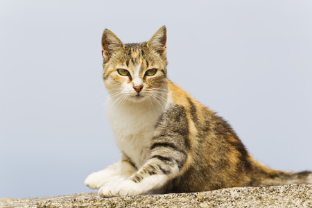 Europe,Greece,Cyclades,Thira,Santorini,Oia,Cat Sitting On Wall