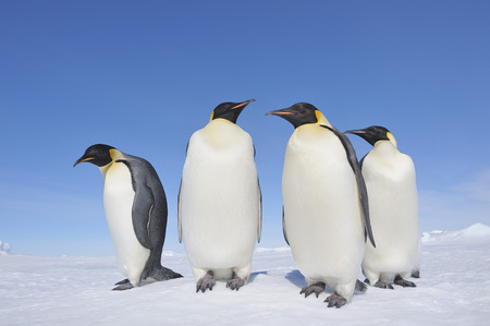 Antarctica,Antarctic Peninsula,Emperor Penguins Standing On Snow Hill Island LANG_EVOIMAGES