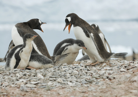 Antarctica,Gentoo Penguins LANG_EVOIMAGES