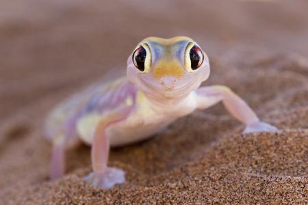 Africa,Namibia,Palmato Gecko In Namib Desert LANG_EVOIMAGES