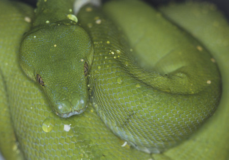 Brazil,Green Tree Python,Close Up