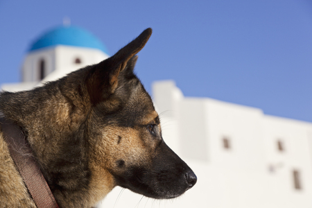 Europe,Greece,Cyclades,Santorini,Dog In The Streets Of Oia
