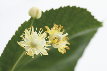 Lime Leaves And Blossoms Against White Background