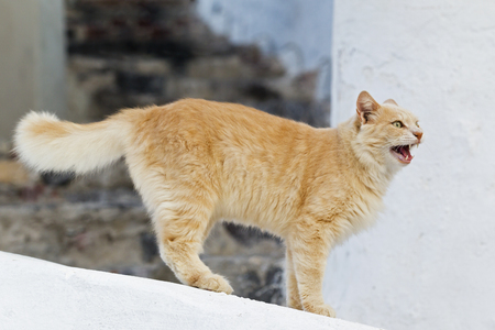 Europe,Greece,Cyclades,Thira,Santorini,Oia,Cat Standing On Wall