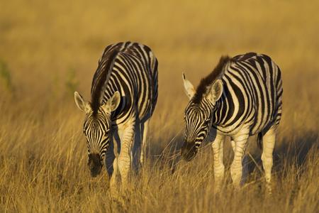 Africa,Namibia,BurchellS Zebra In Etosha National Park