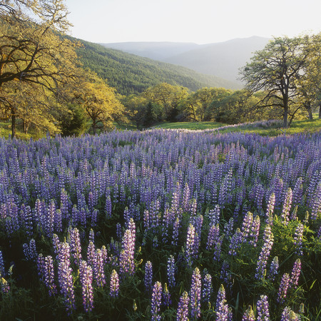 New Zealand,View Of Lupines In A Meadow LANG_EVOIMAGES